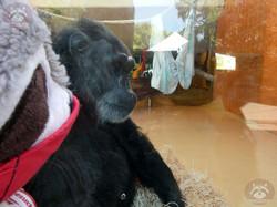 Schimpanse mit Wuschel  (2)