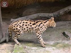 Serval Servus (3)