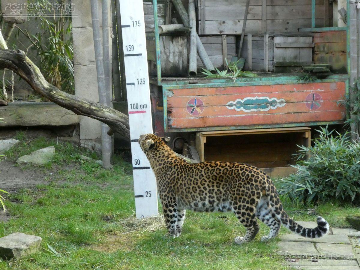 Leopard Julius  (40)