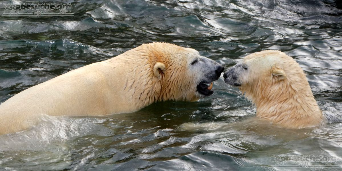 Eisbären_Milana_und_Sprinter_im_Wasser__