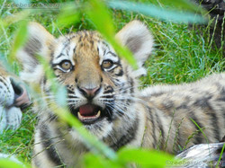 Tiger Jungtier (5)