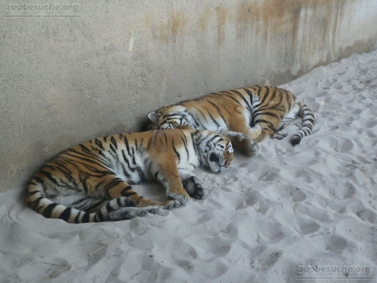Tiger Aljosha und Alexa (2)