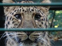 Armur Leopard