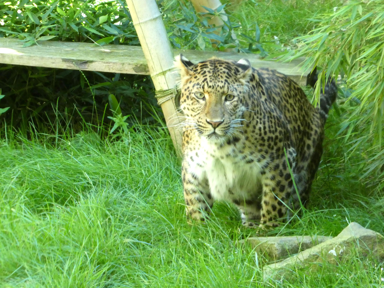 Leopard Julius  (6)