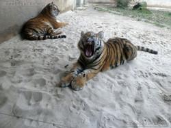 Tiger Jungtier mit Alexa  (3)