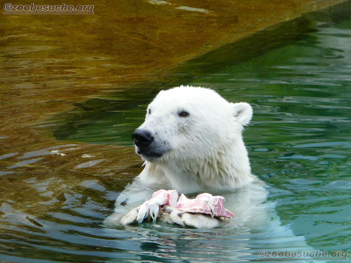 Eisbär (17)