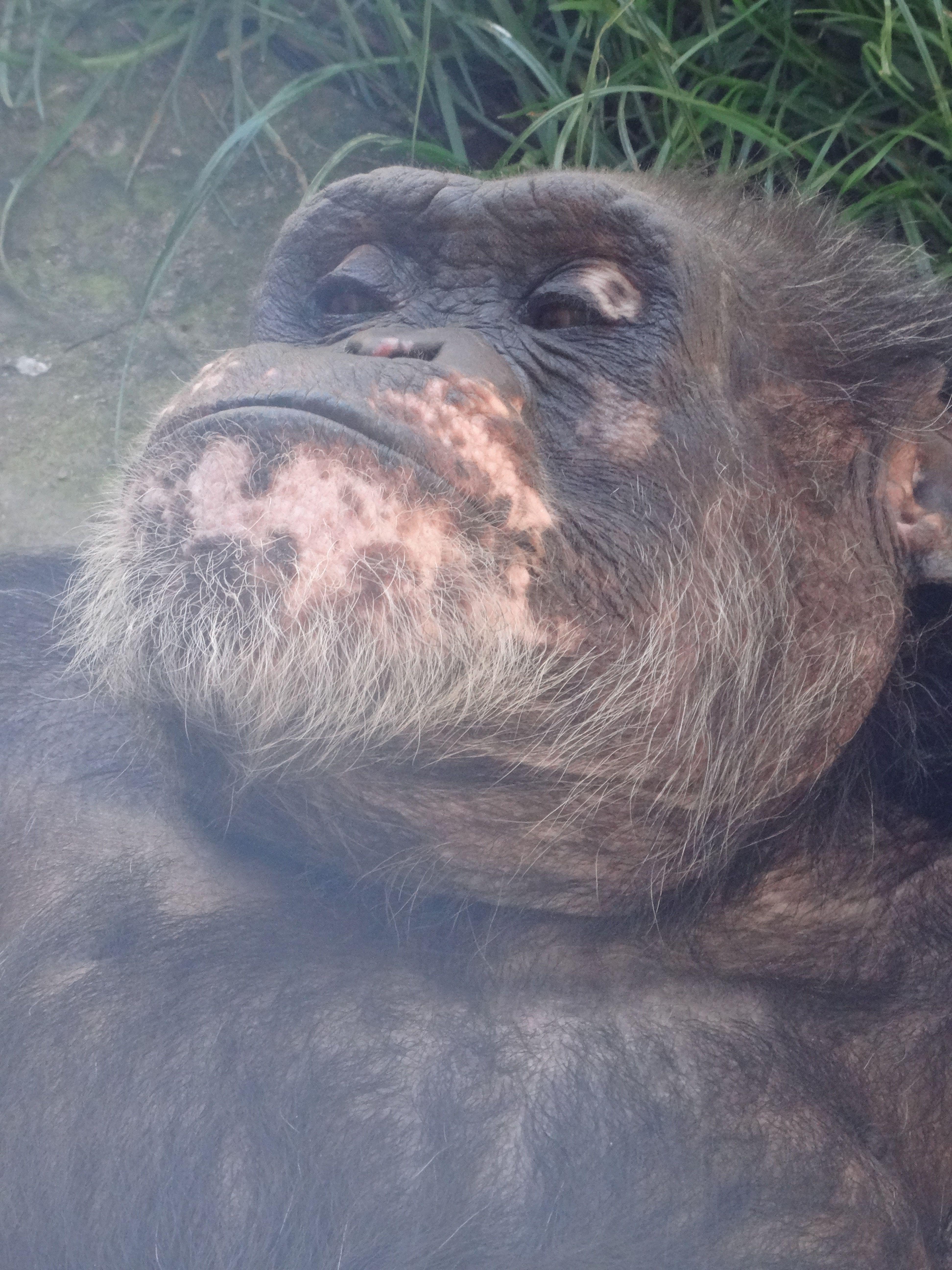 Schimpanse Maxi