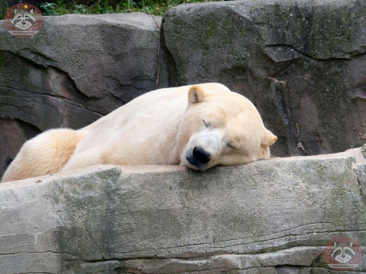 Eisbär Sprinter (1)