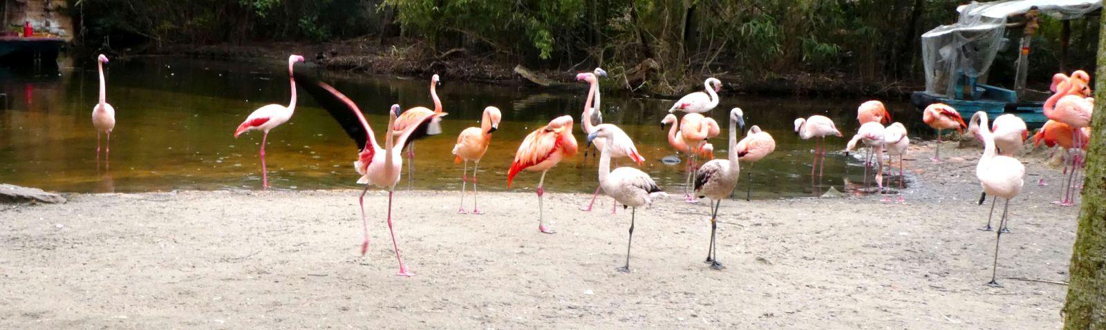 Flamingos  (1)