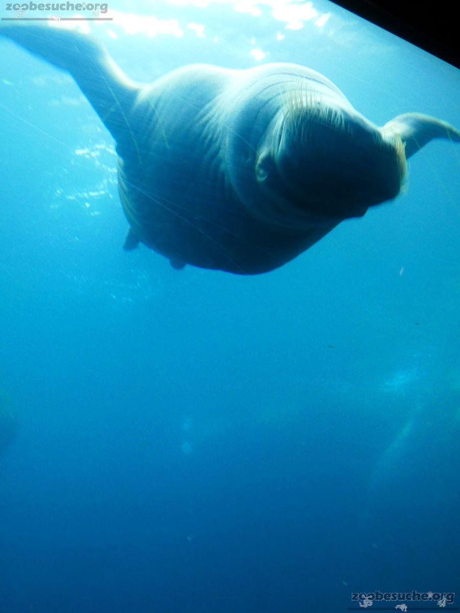 Pazifisches Walross  (2)