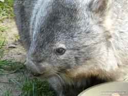 Nacktnasenwombat  (16)