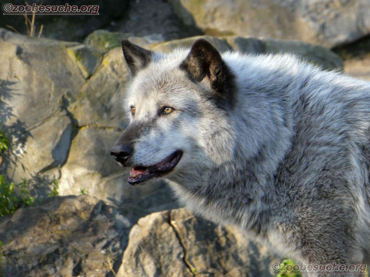 Timberwolf  (9)