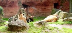 Berberlöwen  (1)