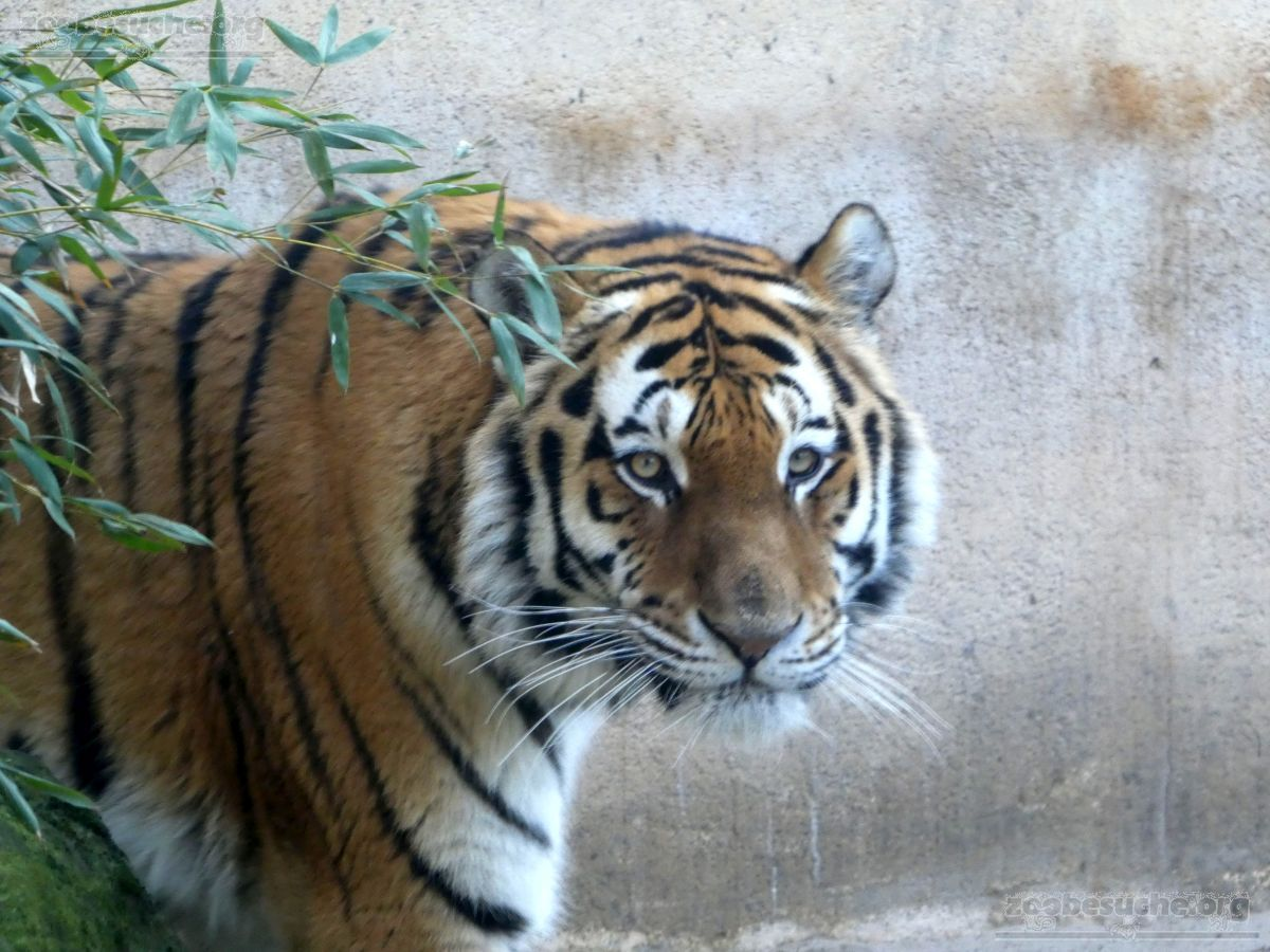 Tiger Aljoscha  (7)