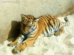 Tigerjungtiere  (21)