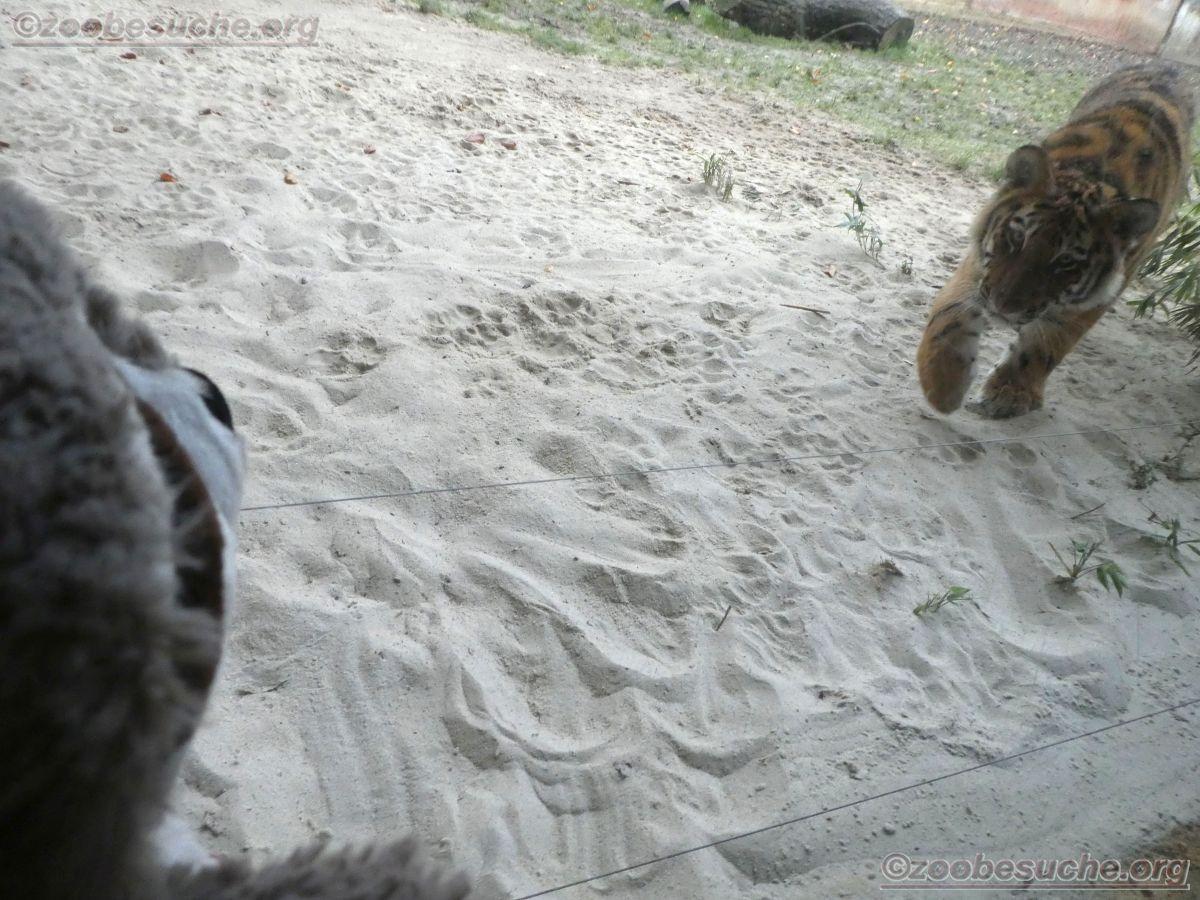 Tiger Jungtier mit Wuschel  (4)