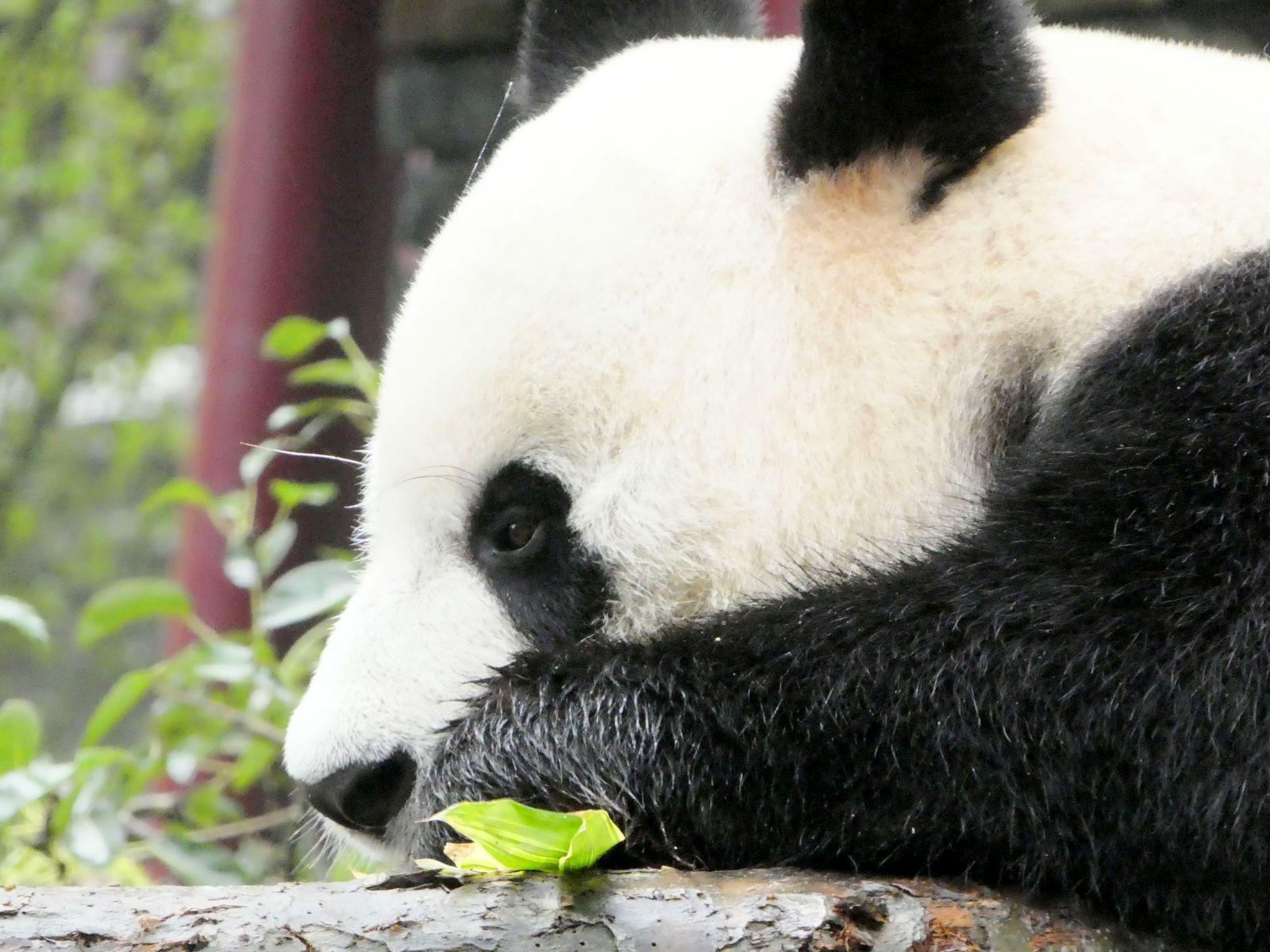 Panda  (17)