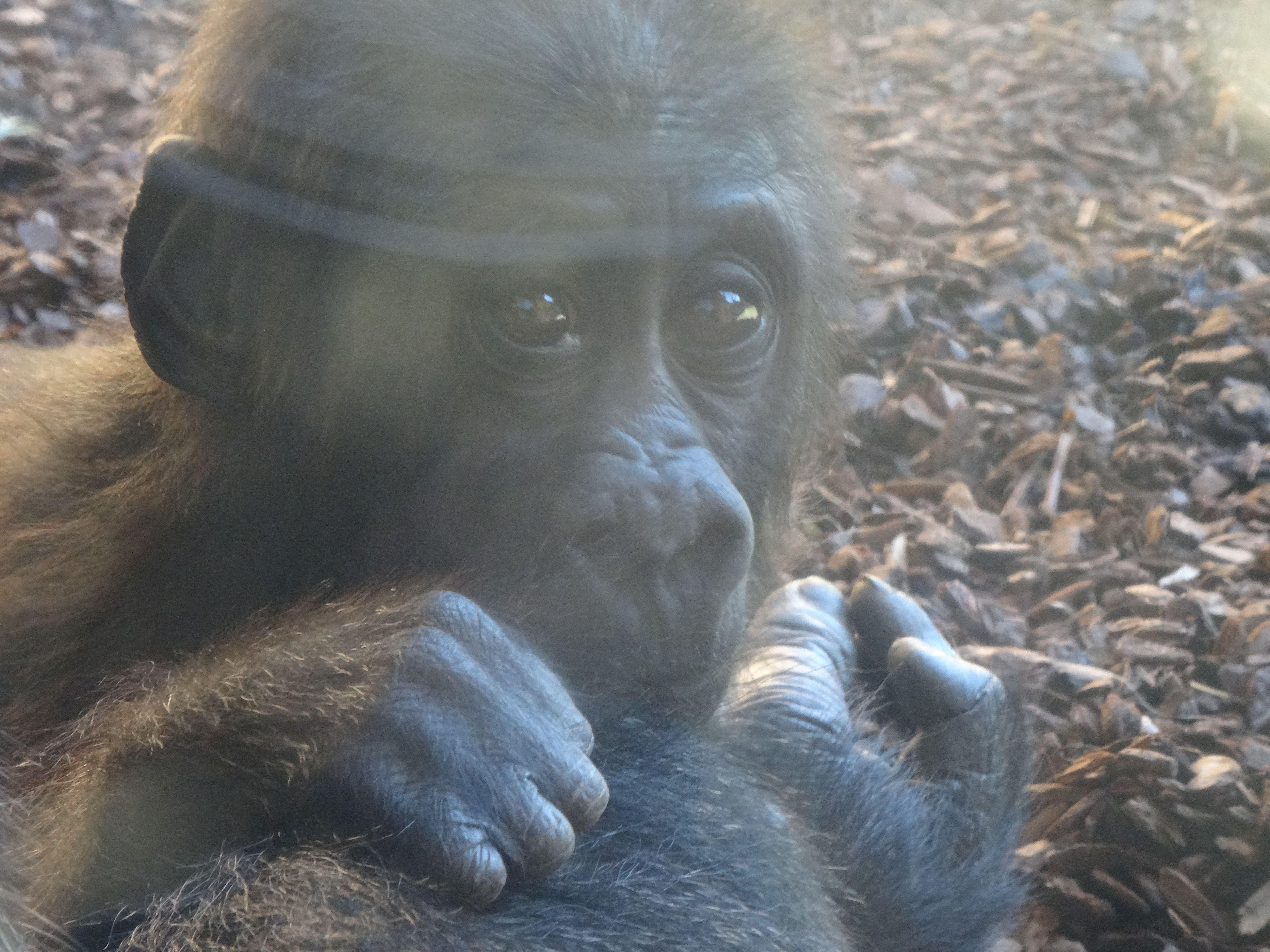 Gorilla  (10)