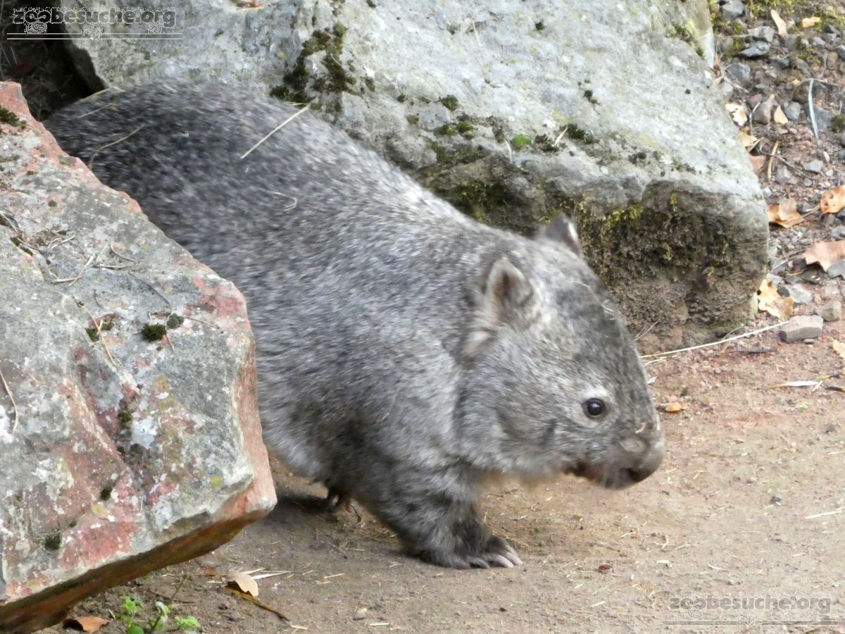Nacktnasenwombat  (1)