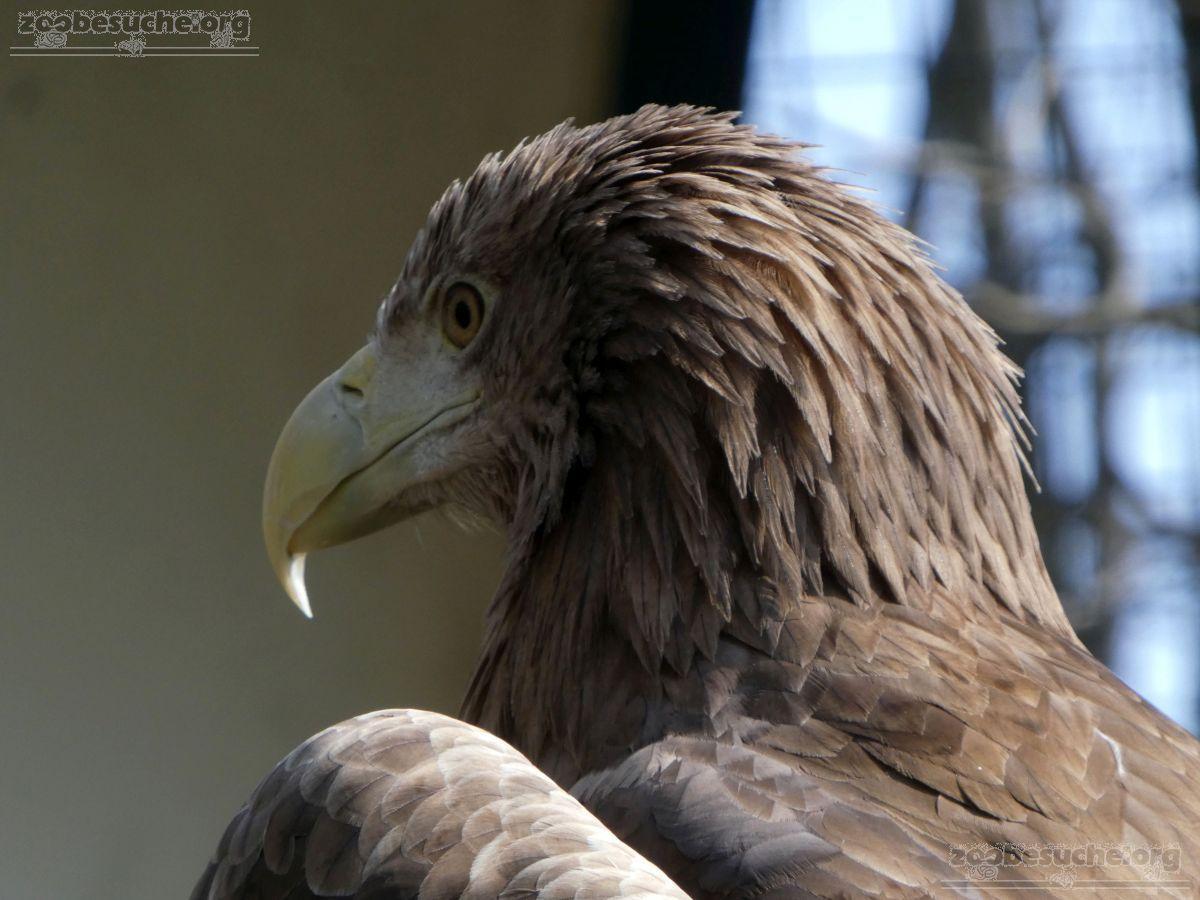 Seeadler  (1)