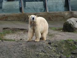 Eisbär  (7)