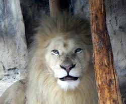 Afrikanischer_Löwe__(2)