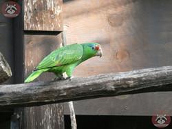 Grünwangen-Amazone