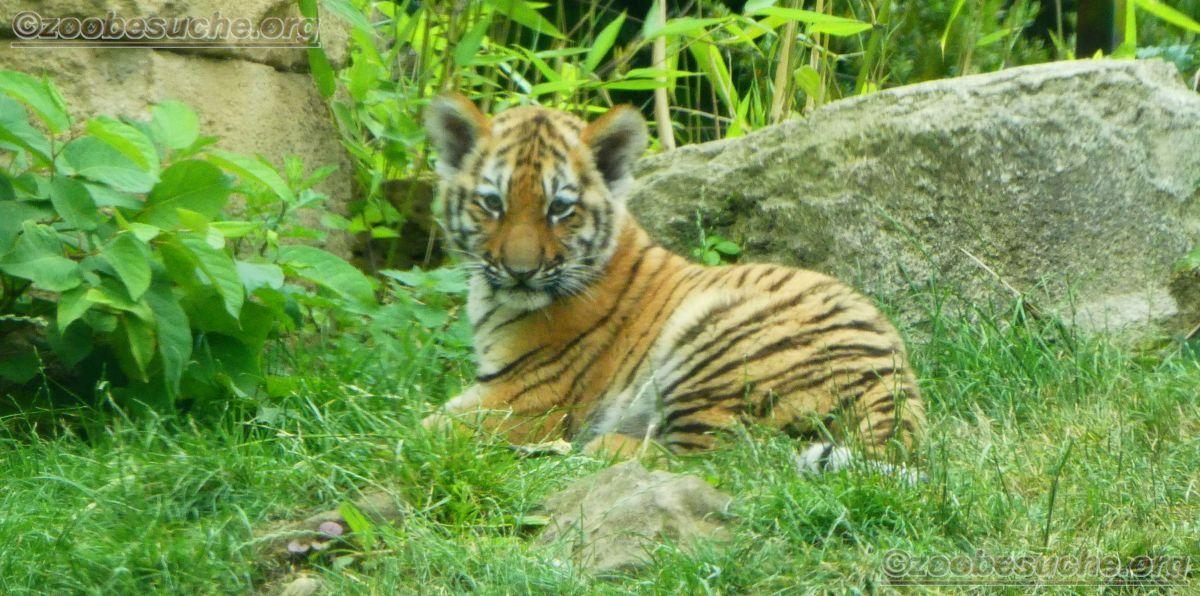 Tiger Jungtiere  (13)