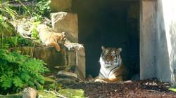 Tiger (12)