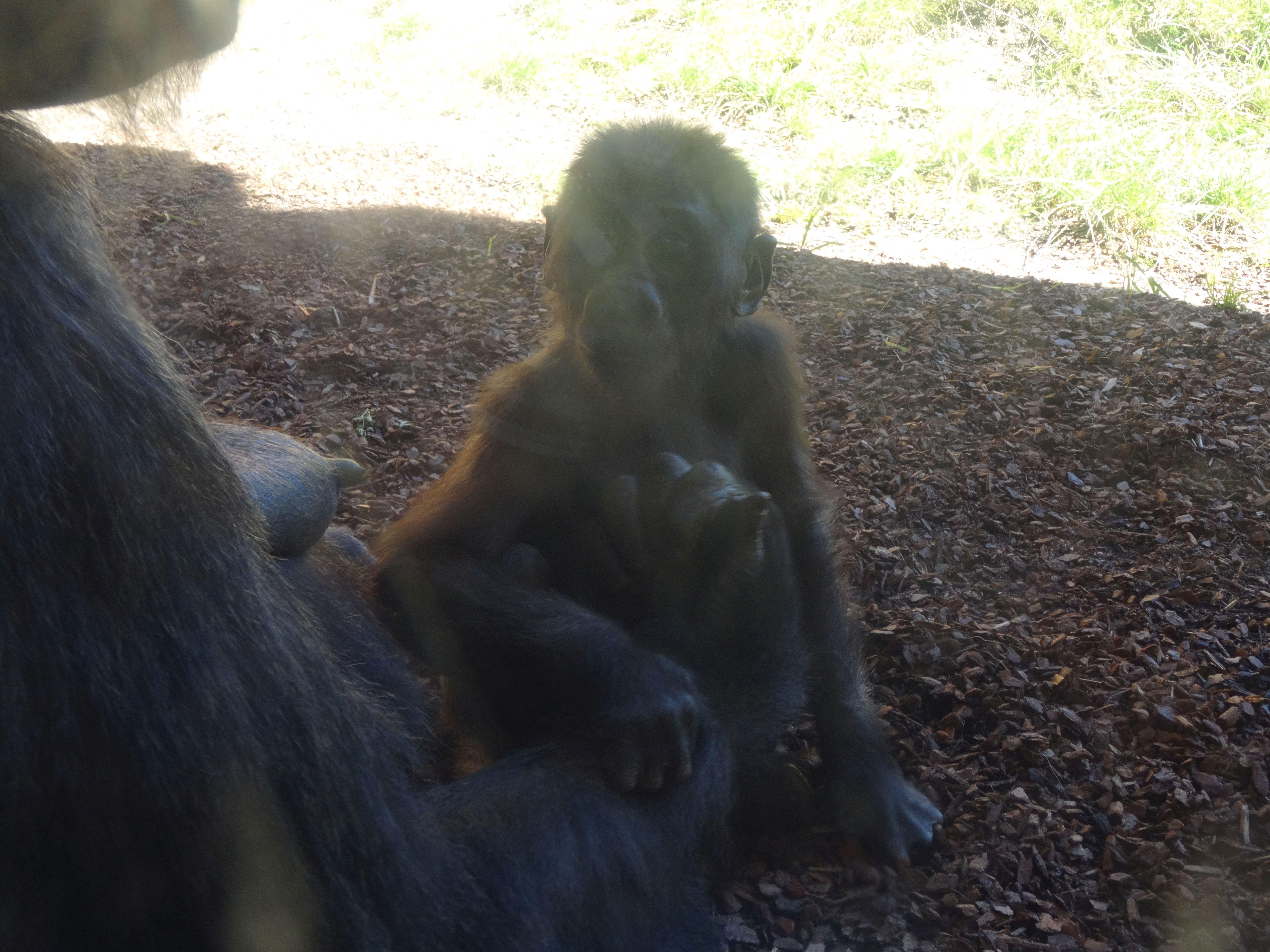 Gorilla  (11)