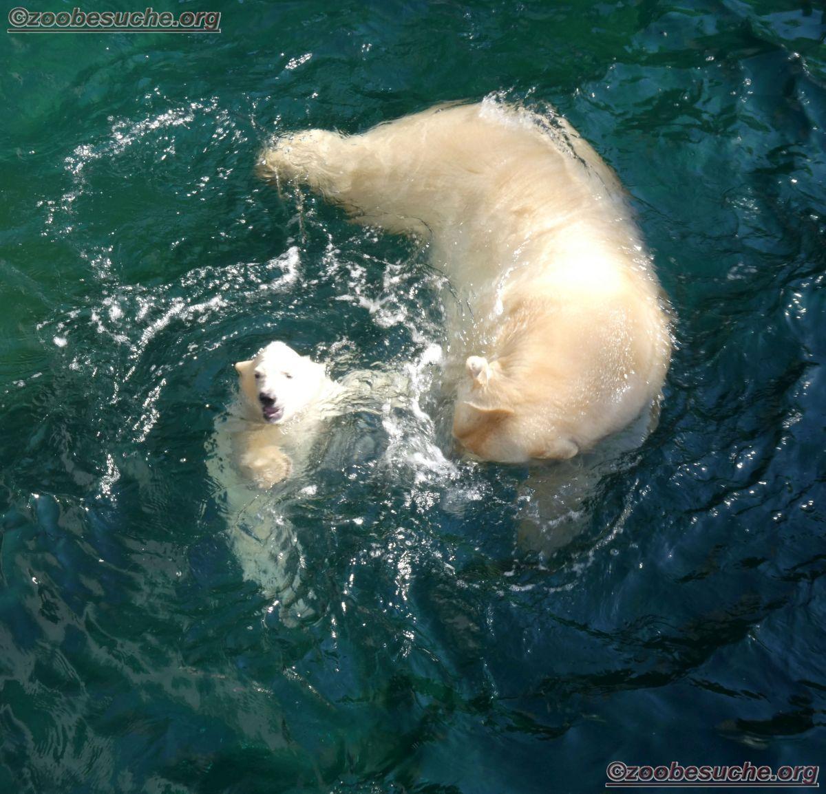 Eisbär  (40)