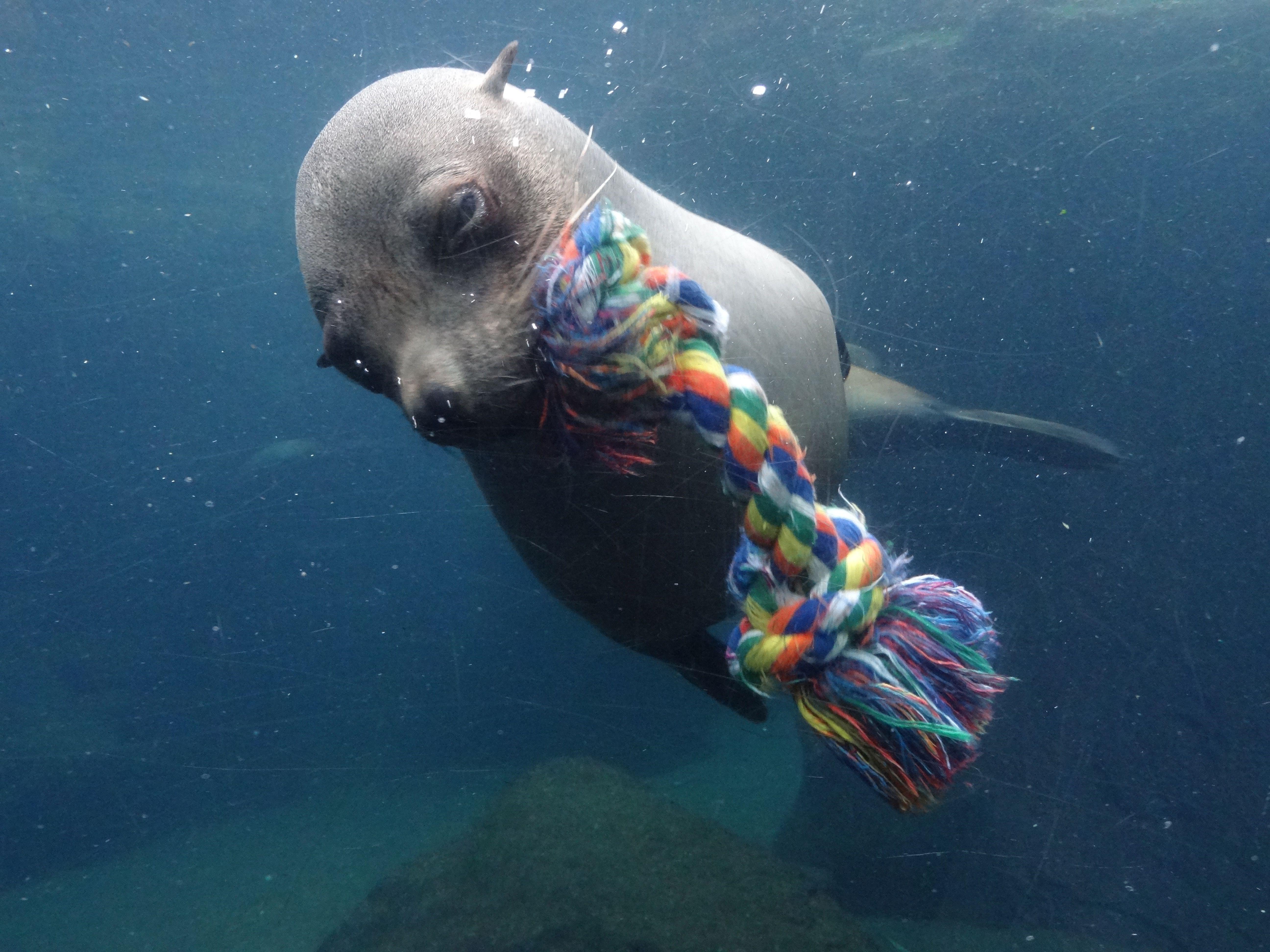 Südafrikanischer Seebär   (3)