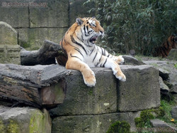 Tigerin Alexa  (5)