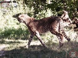 Geparden (5)