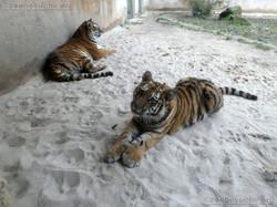 Tiger Jungtier mit Alexa  (2)