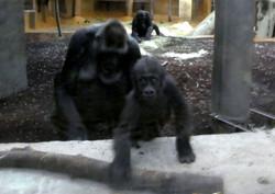 Gorilla Jungtier Tara mit Mama
