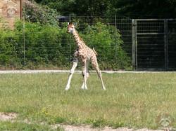 Giraffe Henry  (4)
