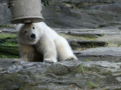 Eisbär  (63)