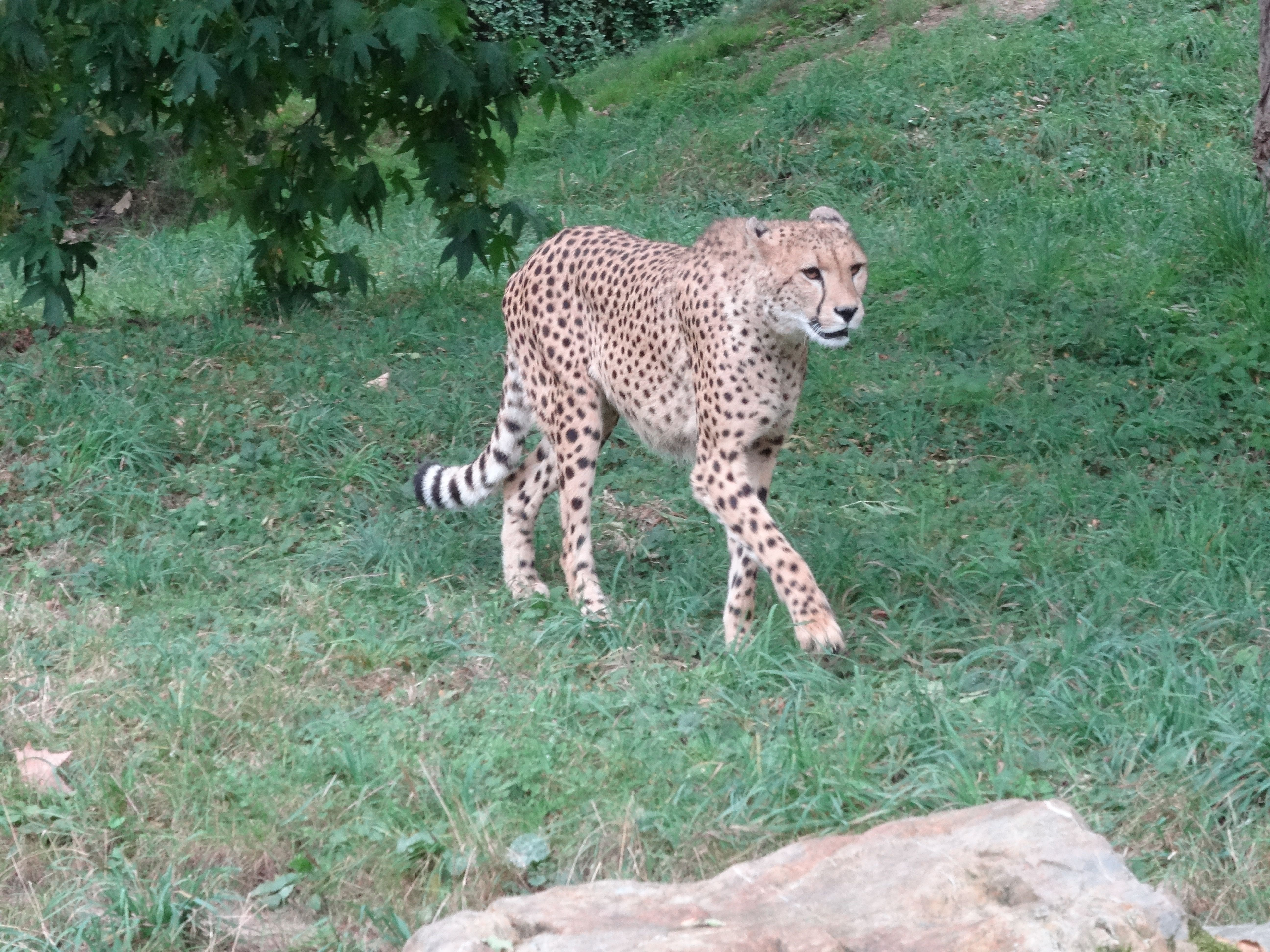 Gepard  (6)