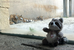 Tiger mit Wuschel (1)