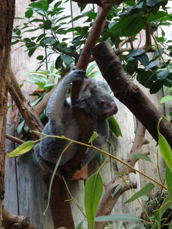 Koala  (2)