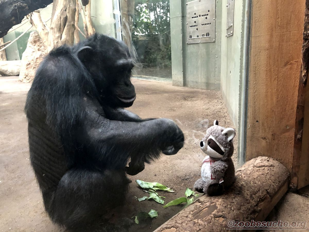 Wuschel mit Schimpanse  (4)
