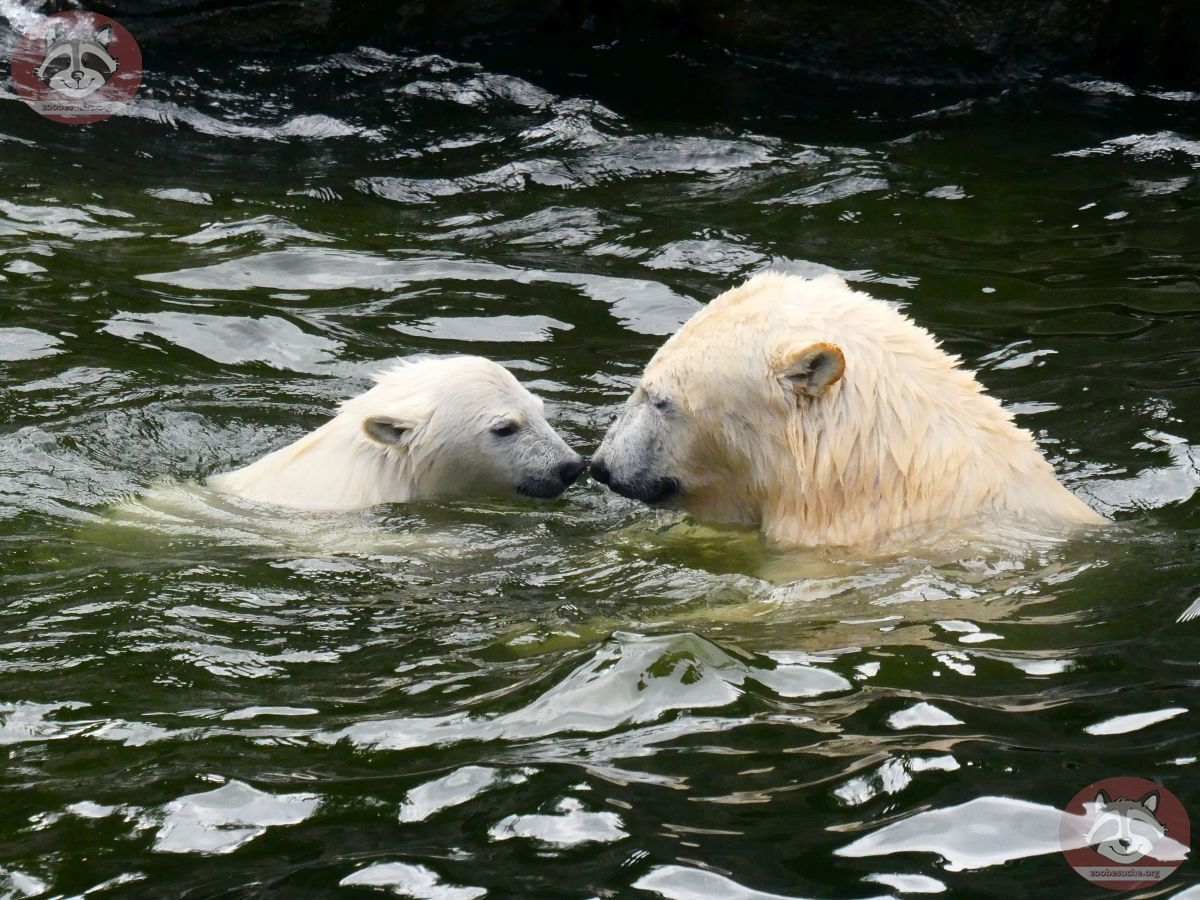 Eisbären_Nana_und_Milana_(12)