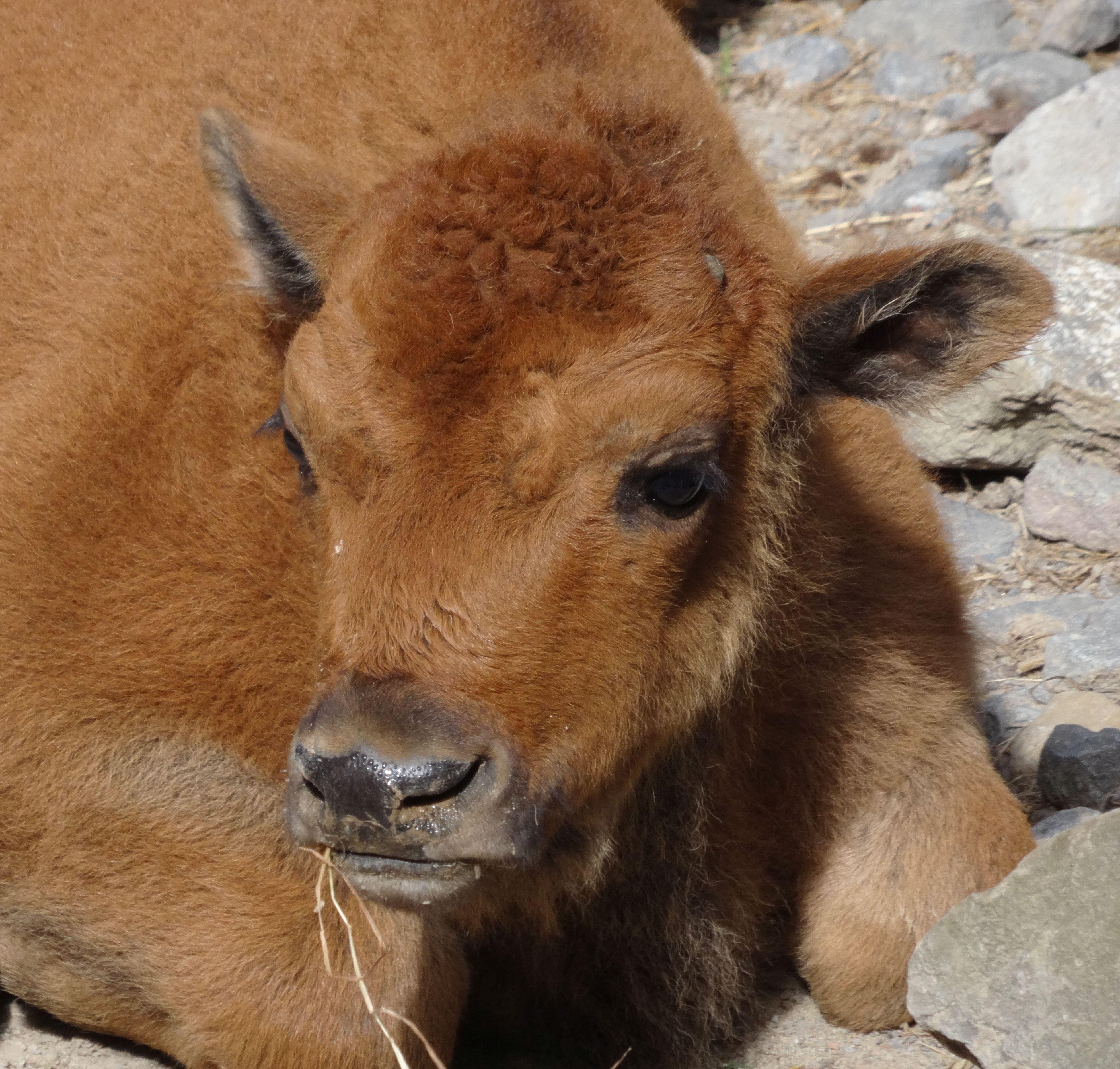 Bison  (4)