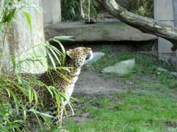 Leopard Julius  (35)