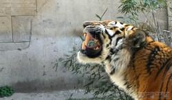 Tiger Aljoscha  (4)