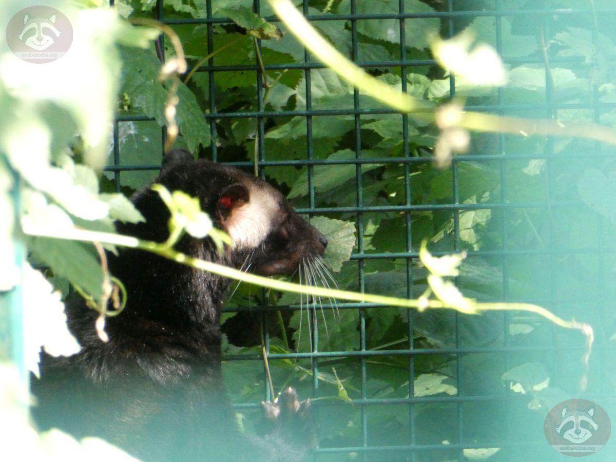 Sumatra Larvenroller