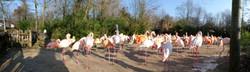 Flamingo  (7)