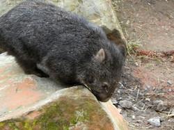 Wombat Maja  (11)