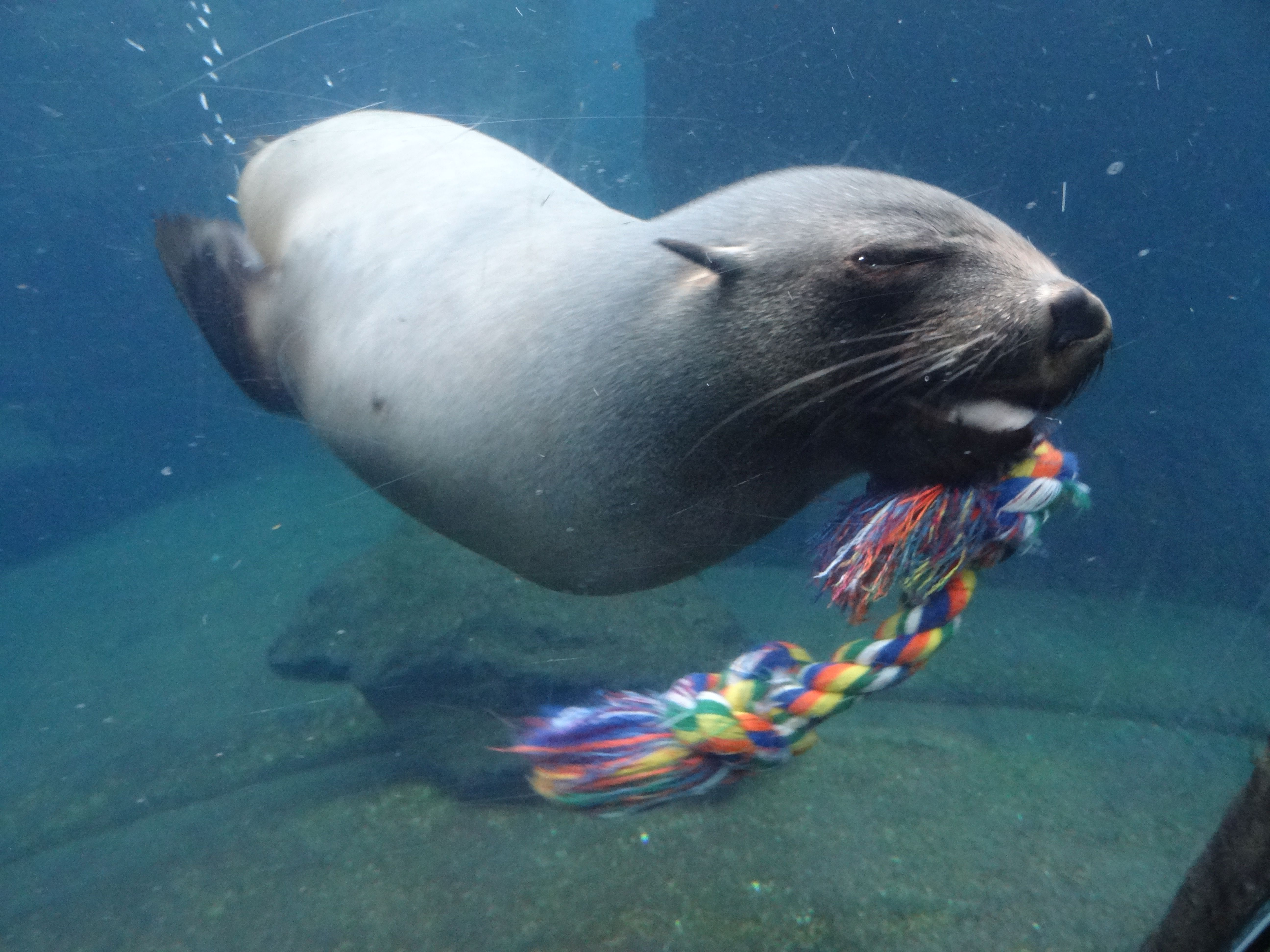 Südafrikanischer Seebär  (4)